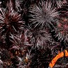 Black Urchins