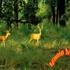 Kanha National Park Spotted Deers